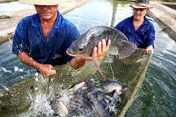 Apesar do alto custo e trabalho na instalação de tanques, Mato Grosso se destaca na piscicultura :: Notícias do Agronegócio - AgroOlhar
